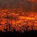 Corn Under A Fiery Sky by John Harding
