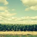Cornfield In Missouri  by Randy Imler