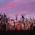 Cornfield Sunset by Jack Riordan