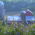 Cornflower And Barn by Bernadette Chiaramonte