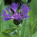 Cornflower Purple Surprise V2 by Janet DeLapp