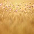 Cornflowers by Jana Behr