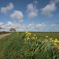 Cornish Daffodil Hedge by Terri Waters