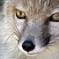 Corsac Fox- Vulpes Corsac 02 by Ausra Huntington nee Paulauskaite