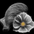 Cosmea Bloom by Manfred Lutzius