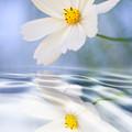 Cosmea Flower - Reflection In Water by Silke Magino