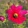 Cosmos Feeding Bee by Phyllis Taylor