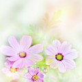 Cosmos Flowers by Svetlana Foote