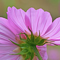 Cosmos Light by Janet DeLapp