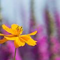 Cosmos Polidor Flower by Tim Gainey