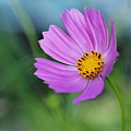 Cosmos by Valerie Morrison