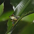 Costa Rica Red Eye Frog I by Jody Lovejoy