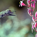Costa's Hummingbird 0556-051318-1cr by Tam Ryan