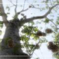 Cotton Ball Tree by Douglas Barnard