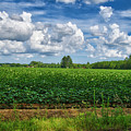 Cotton Fields Of Sc by TJ Baccari