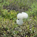 Cotton Grass -eriophorum Virginicum- by Erin Paul Donovan