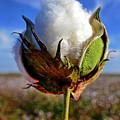 Cotton Pickin' by Skip Hunt