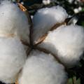 Cotton Pod Open by Debra     Vatalaro