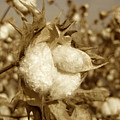 Cotton Sepia by Brooke Roby