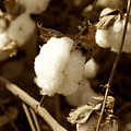 Cotton Sepia2 by Brooke Roby