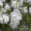 Cottongrass by Fran Riley