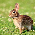 Cottontail by Brian Manfra