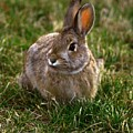 Cottontail Bunny ... Montana Art Photo by GiselaSchneider MontanaArtist
