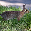 Cottontail Rabbit In My Front Yard by Denise Crawford