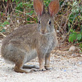 Cottontail Rabbit Surprised To Have Company by Andrea Freeman