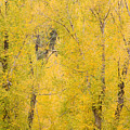 Cottonwood Autumn Colors by James BO  Insogna