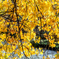 Cottonwood Tree Along The River by John Brink