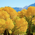 Cottonwoods In All Their Glory by Frank Madia