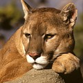 Cougar Contemplating by Larry Allan