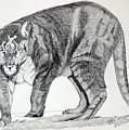 Cougar by Daniel Shuford