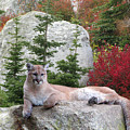 Cougar On Rock by Robert Bissett