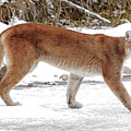 Cougar On The Prowl by Athena Mckinzie