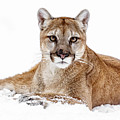 Cougar On White by Wes and Dotty Weber