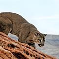 Cougar Prowling by Melody Watson