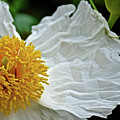 Coulter's Matilija Poppy In Rancho Santa Ana Botanic Gardens, Claremont-california  by Ruth Hager
