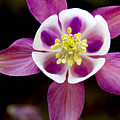 Coumbine Blossom by Daniel G Walczyk