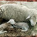 Counting Sheep by Sari Sauls