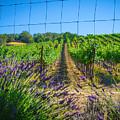 Country Lavender V by Shari Warren
