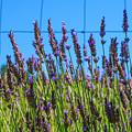 Country Lavender Vii by Shari Warren