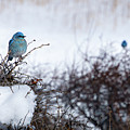 Couple Chilly Bluebirds by Cary Leppert
