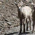 Couple Of Cuties- Baby Bighorn by Tiffany Vest