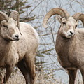 Couple Of Rams- Banff National Park by Tiffany Vest