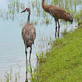 Couple Of Sandhills By Pond by Carol Groenen