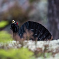Courting Woodgrouse Entering From Behind The Edge by Torbjorn Swenelius