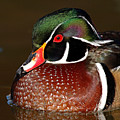 Courtship Colors Of A Wood Duck Drake by Max Allen