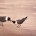 Courtship Dance Of The Laughing Gull by Leda Robertson